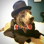 """14th Place: Fred Stroeer, a Great Pyradane from Columbus, OH. """"Fred loves to feel like a true gentleman in his CollarDoos bow ties! He also likes to show off his patriotism by wearing his favorite red, white, and blue bow tie."""""""