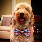"""7th Place: Eintstein Gross, a Goldendoodle from Columbus, OH. """"Whether he's strolling around North Market, headed to the latest festival (obviously WagFest), or attending a Schiller Park Shakespeare re-imagining, CollarDoos let Einstein express himself."""""""