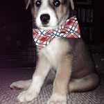 """2nd Place: Tucker Johnson, a Husky/Shepherd/Lab Mix from Reynoldsburg, OH. """"As if he isn't cute enough, Tucker knows the ladies love a man with style!"""""""