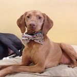 """6th Place: Astro Jacques, a Vizsla from Columbus, OH. """"Astro loves his Collardoo bow ties because they make him look and feel like the handsome man he truly is, without overdoing it."""""""