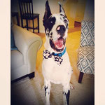 """5th Place: Champ Bailey, a Harlequin Great Dane from Columbus, GA. """"Champ feels like such a ladies man with his new CollarDoos bow tie! """""""