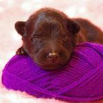 Hündin violett - auch sie ist schwarz ;-) (aber komisch belichtet?)