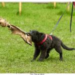 14 Wochen jung - erstes Schutz-Training