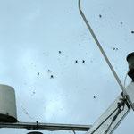 Spinnenparade