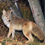 Los coyotes de Honduras son de los animales que ya no son vistos con facilidad debido a que su hábitat lo estamos destruyendo.