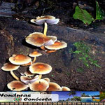 Hondgos Honduras