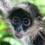 Los monos araña son los segundos más inteligentes despues del mono carablanca. Lo podemos encontrar en la mosquitia cerca de la Laguna de Caratasca.