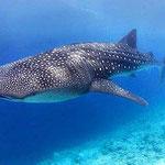 La especie mas buscada en las Islas de la Bahía es el Tiburón Ballena, este tiburón no ataca al humano, no debes tenerle miedo, se alimenta de pequeñas plantitas marinas.