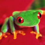 La rana de ojos rojos es una de las ranas mas famosas que habitan en Honduras, muchos investigadores nacionales y extranjeros la buscan para escribir sobre sus hábitos