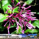 Flor de Honduras