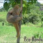 Los micos de noche habitan los bosques de Honduras, en la zona central lo podemos encontrar en el Parque Nacional La Tigra.