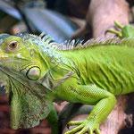 Las iguanas son de los reptiles mas bonitos que habitan en Honduras.