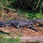 Este es un caimán, se encuentran en los ríos de Honduras aunque no se ven con facilidad, se puede ver en el Parque Nacional Patuca, mosquitia y el Refugio de Vida Silvestre de Cuero y Salado.