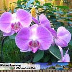 Orquidea Mariposa