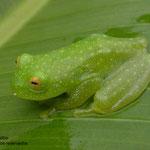 Esta es la famosa rana de vidrio, habita en los bosques de la mosquitia hondureña.