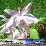 Orquidea Hondureña