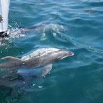 Großer Tümmler Delfin