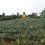 Ananas Park