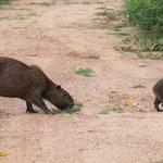 Capybara Mutter mit Kind