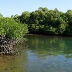 Mangrovenwald auf der Insel Rinca (Mangrove forest at Rinca island)