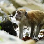 Langschwanz Makak im Dchungel von Bukit Lawang