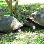 Galapagos tortois