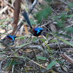 Colourful birds, Noosa National Park