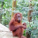 Orang Utan Baby im Dchungel von Bukit Lawang