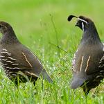 Vogelpaar, Queenstown