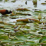 Wattled jacana with kids