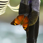 Schmetterling im Dchungel von Bukit Lawang