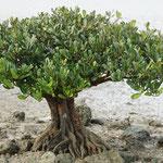 Mangrovenbäumchen