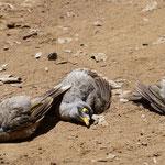 Sehen aus als wären sie tot, aber sie leben, Lone Pine Koala Sanctuary