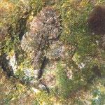 Skorpions-Steinfisch