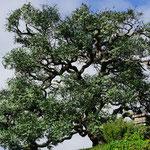 Plastikbaum (Plastic tree), Hobbiton, Matamata