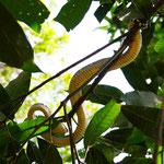 Baumschlange im Dchungel von Bukit Lawang
