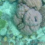 Koralle mit Riesenmuschel (Tridacna)