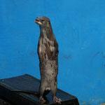 Amazonas Otter