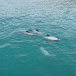 Hector Delfine, Akaroa Bucht