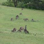 Kängurus in Mallacoota