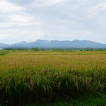 Reisfeld (Rice field)