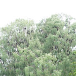 Huge amount of flying foxes having a rest at the trees