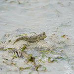 Mudskipper at 17 islands national park, Flores