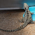 Australian water dragon at a dogs bowl, Brisbane