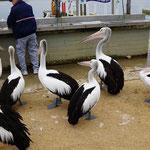 Pelikane warten auf Fischreste in Mallacoota