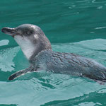 Little blue penguin, Akaroa