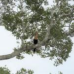 Amerikanischer Schlangenhalsvogel