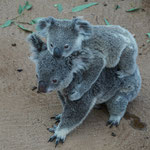 Koala mom with baby, Lone Pine Koala Sanctuary