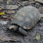 Landschildkröte, werden sehr gerne verspeisst
