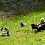 Duck mother with babies